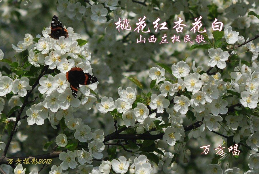 桃花红杏花白 万方